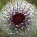 Dewy Thistle
