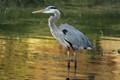 Blue Heron Crane