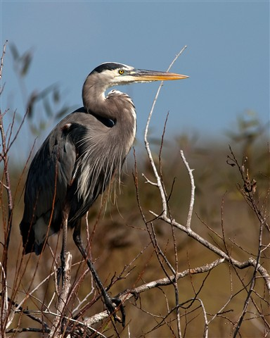 Great Blue Heron in the Everglades