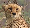 Cheetah@imfolozi 2