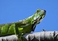 Tropical green iguana