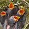 Four Dunnock chicks