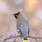 waxwing pose