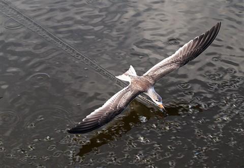 Skimmers Working The Marsh