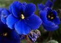 Blue Saintpaulia ionantha