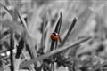 colour ladybird