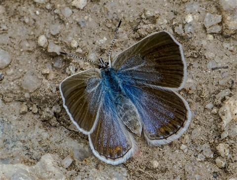 Aricia icarioides