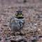 Horned Lark at Cheyenne Bottoms   009   02 06 17