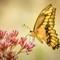 Eastern Tiger Swallowtail 2 (1 of 1): OLYMPUS DIGITAL CAMERA