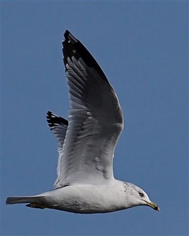 Gull 22 121711