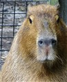 Si. I am Capybara. I have papers.......