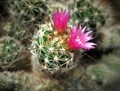 A little flowering cactus