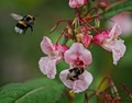 Impatiens glandulifera and bees
