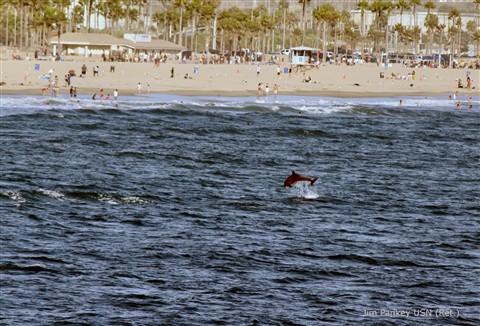 porpoise full breach huntington beach large
