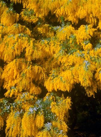 Australia_flowering tree_a