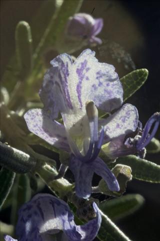 Rosemary 40x PMax