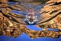 swimming tigar