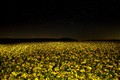 Rapeseed field at night