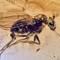 2017 Amber 041 March Diptera Brachycera II