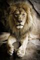 Captive Juvenile Male Lion
