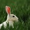 Albino Brown Hare SFS IMG_0042