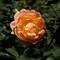 Orange Rose-3264