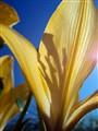 Backlit Lily