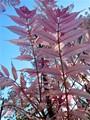 Chinese Toon Tree (Cedrela sinesis)