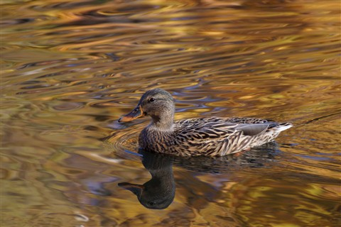 Female Mallard on gold - Lake Audubon