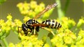 Wasp on parsnip flower