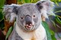 Rude Koala _MG_5615