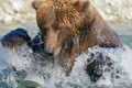 Katmai National Park, Alaska, in the place where the salmon starts and ends its life cycle and the brown bears are feating, preparing for the coming winter...