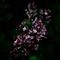 Leica X Vario - Korean Dwarf Lilac-1041138