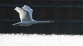 Swan on a fast track