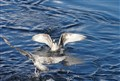 Seaguls In Action