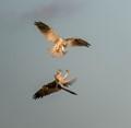 Two black shouldered kites fighting. Near Melbourne, Australia.