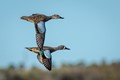 Blue-winged Teal mates flying in unison