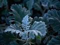 Silvery Blue Shoreline Leaves