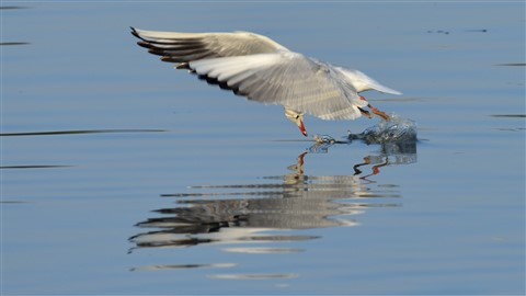 20130115-Black-Headed-Gull-cntlaw-dpreview-01