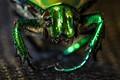 Green Beetle-2837