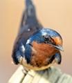 Barn Swallow Closeup