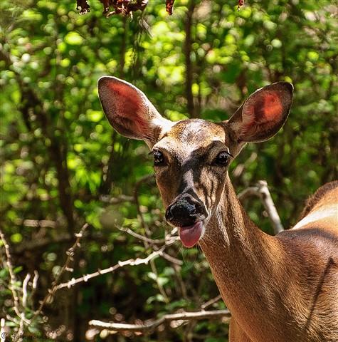 Deer - facial expression