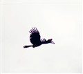 Kinabatangan Hornbill