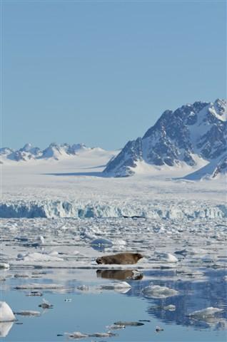 Bearded seal, Liefdefjorden