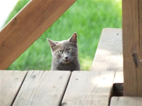 Grey Cat (Original)