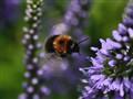 Bumblebee-Copter