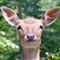 deer-329