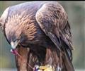 Eagle Meal
