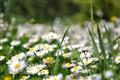 daisies all around