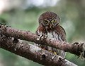 Northern Pygmy Owl shot in June on Mt. Walker, Washington